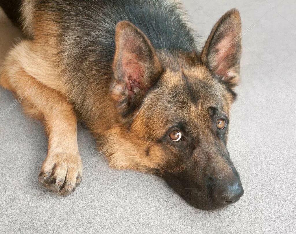 Овчарка немецкая собак ушей болезнь у анализ крови венозная кровь клинический