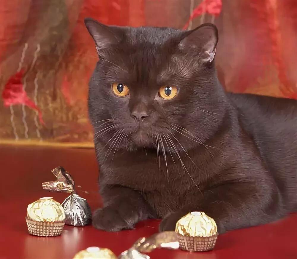 картинки шоколадные кошки борец вольного