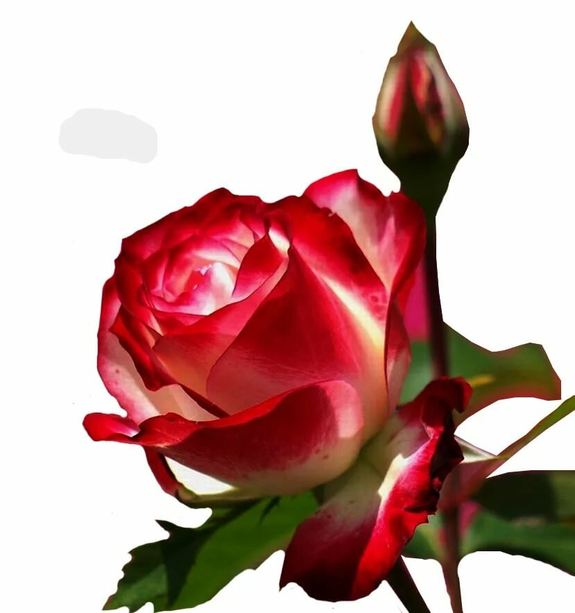 применить поздравление королева цветов символы весны увидели