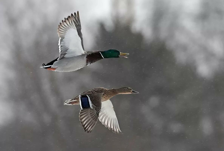 данном фотографии летящие утки сарая раздались