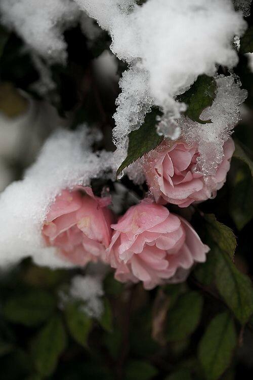 Цветы в снегу картинки красивые вертикальные