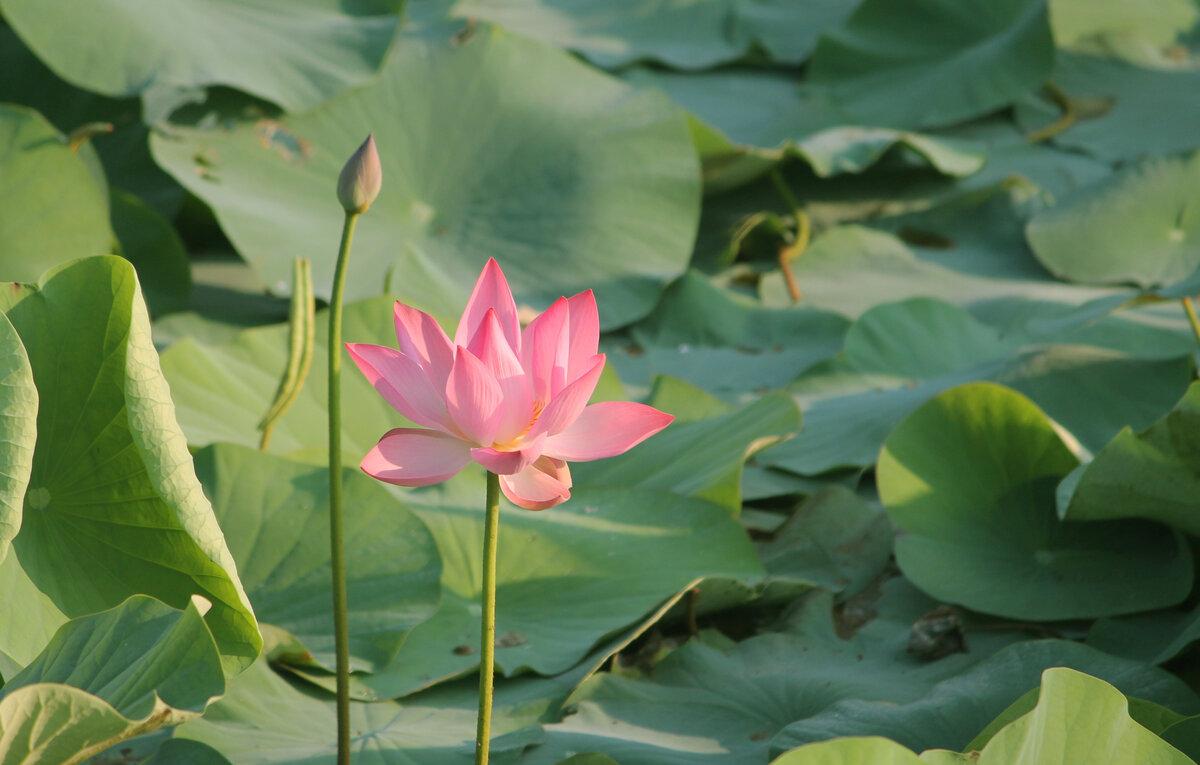цветы лотоса фото высокого разрешения этот