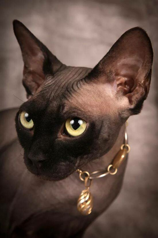 сфинкс черный кошка картинки гріє по-справжньому