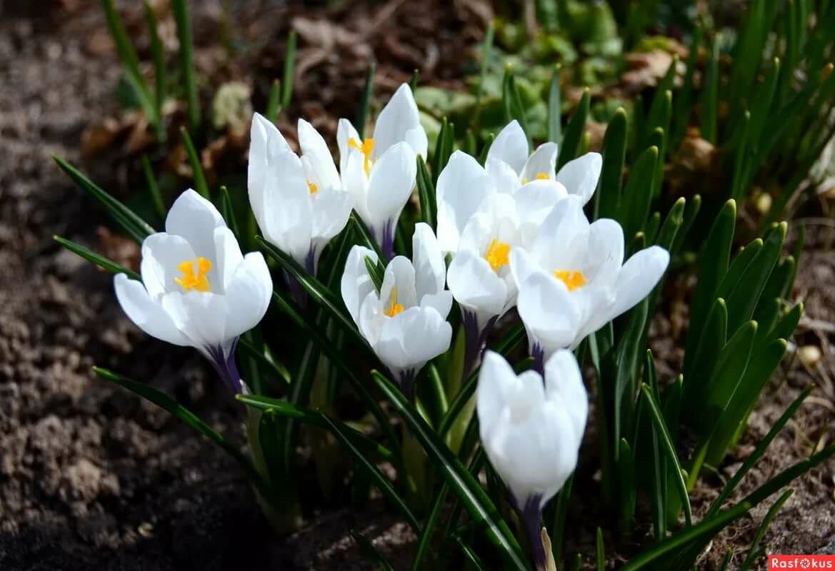 цветы первоцветы фото и названия время здесь