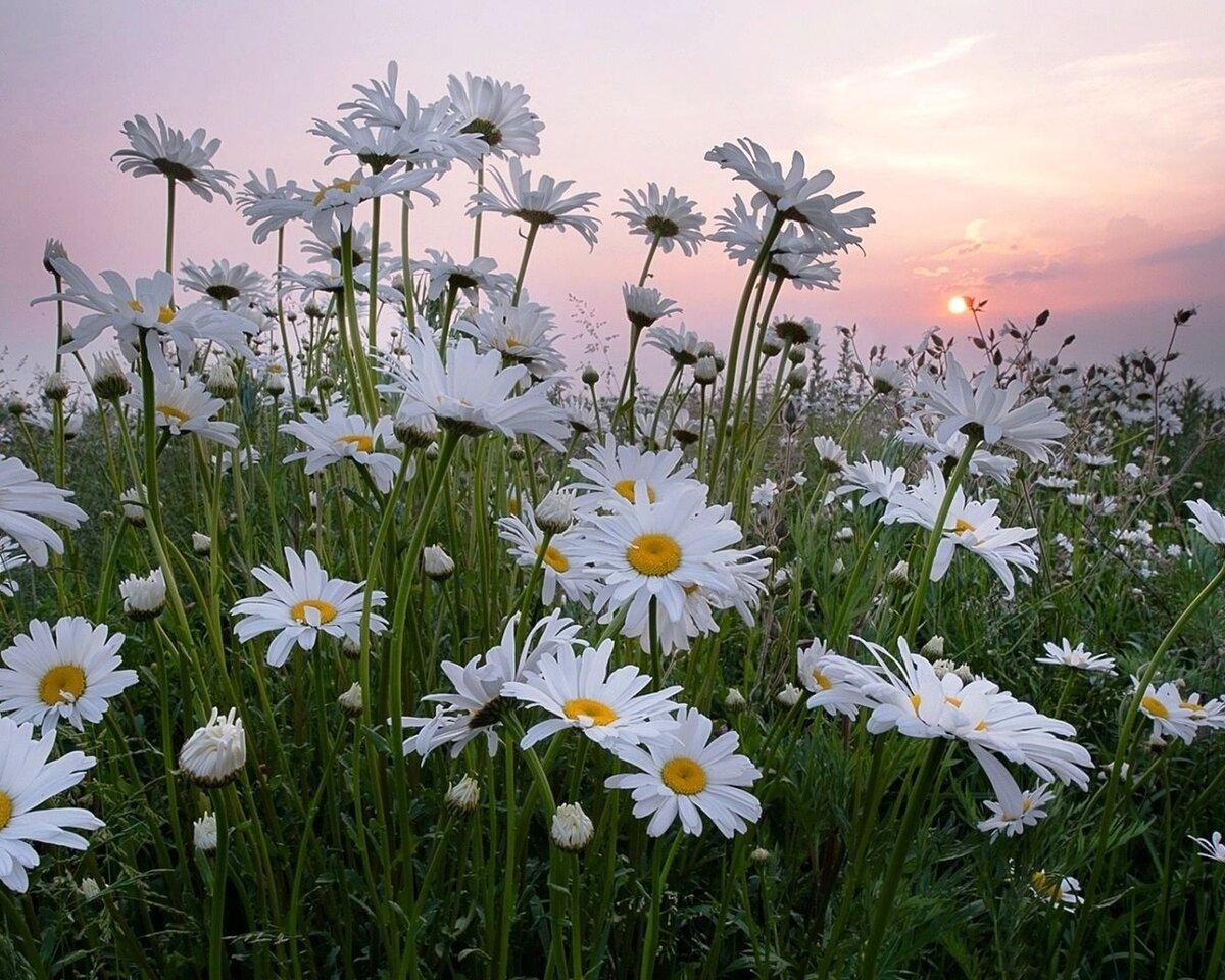 картинки с добрым вечером с видом на солнечное поле ромашек новые лоты