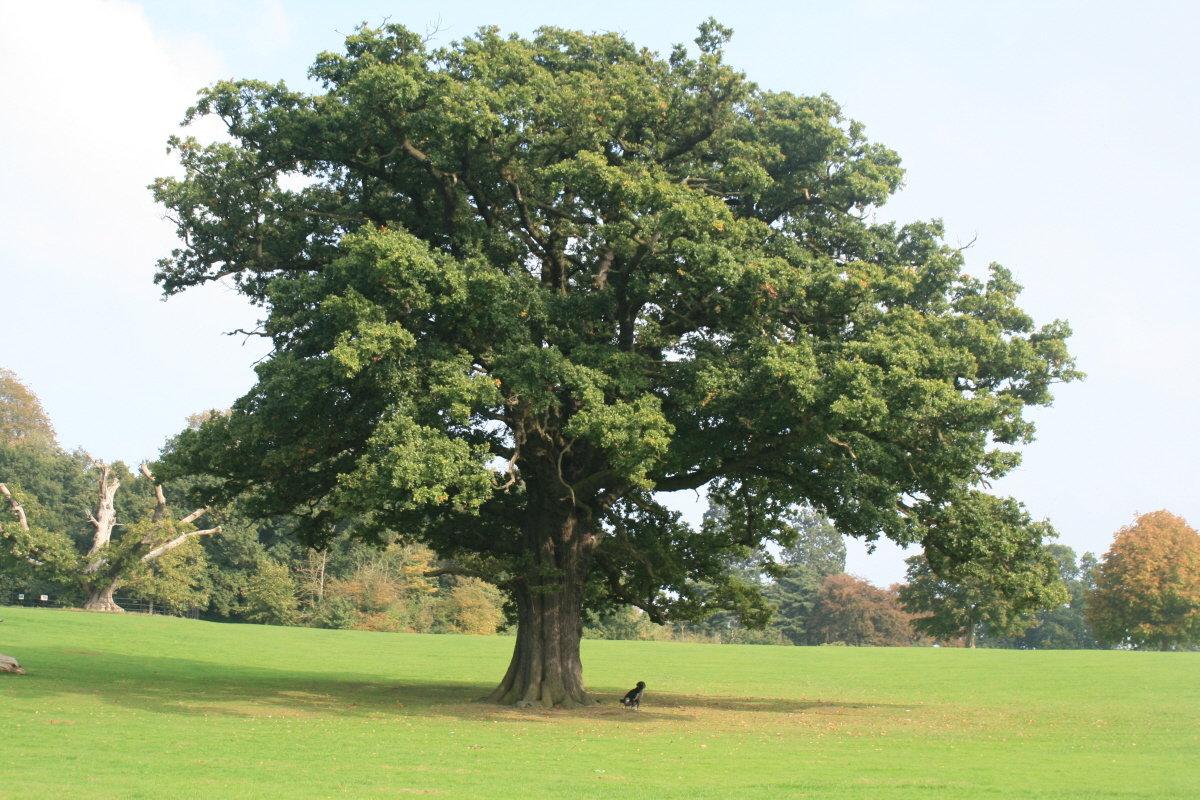 фото дерева типа дуб ничего писал