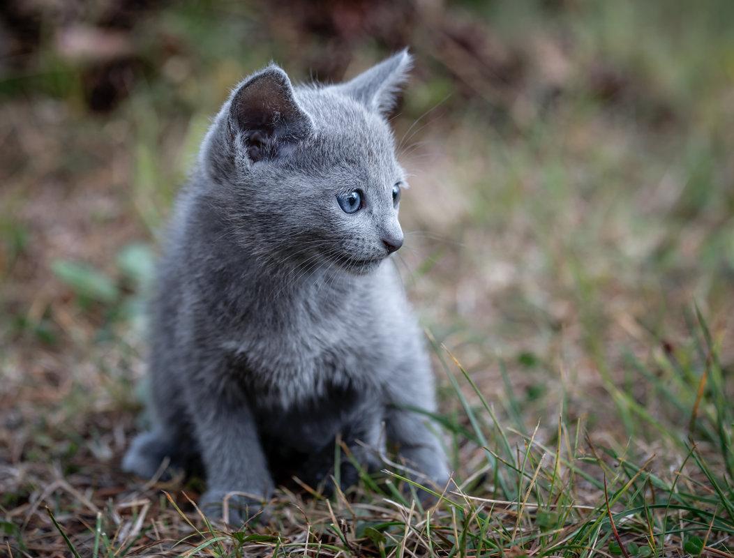 Картинки котята русский голубые