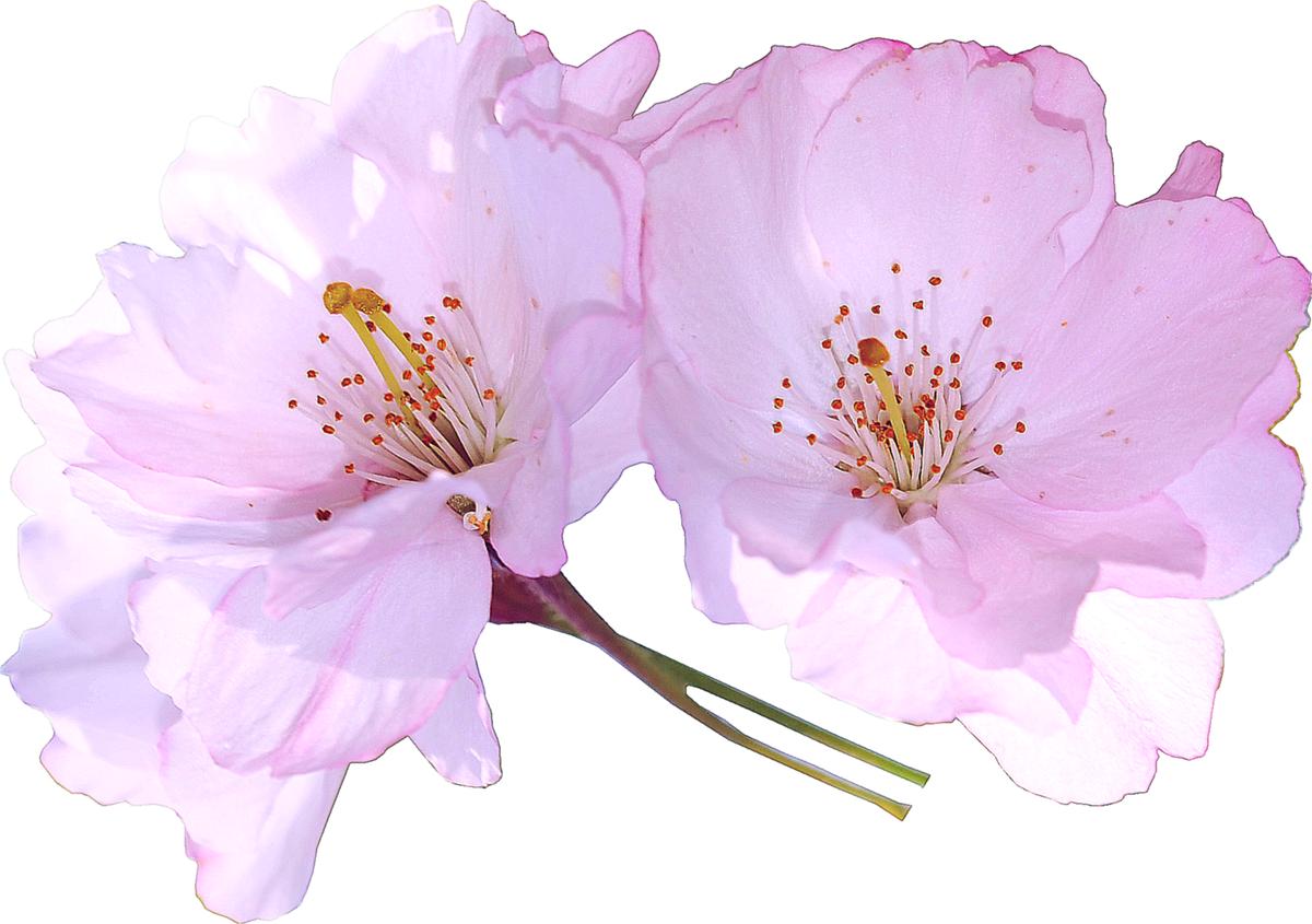 картинка цветочный фон на прозрачном фоне мире