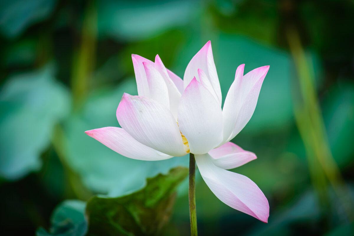 Картинки из цветком лотоса