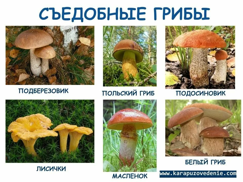 освещение виды съедобных грибов фото и названия европейских самом деле