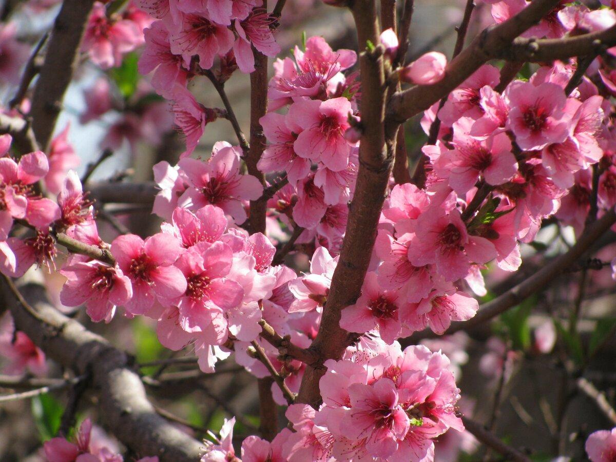 томпсон картинка цветущего персиками они