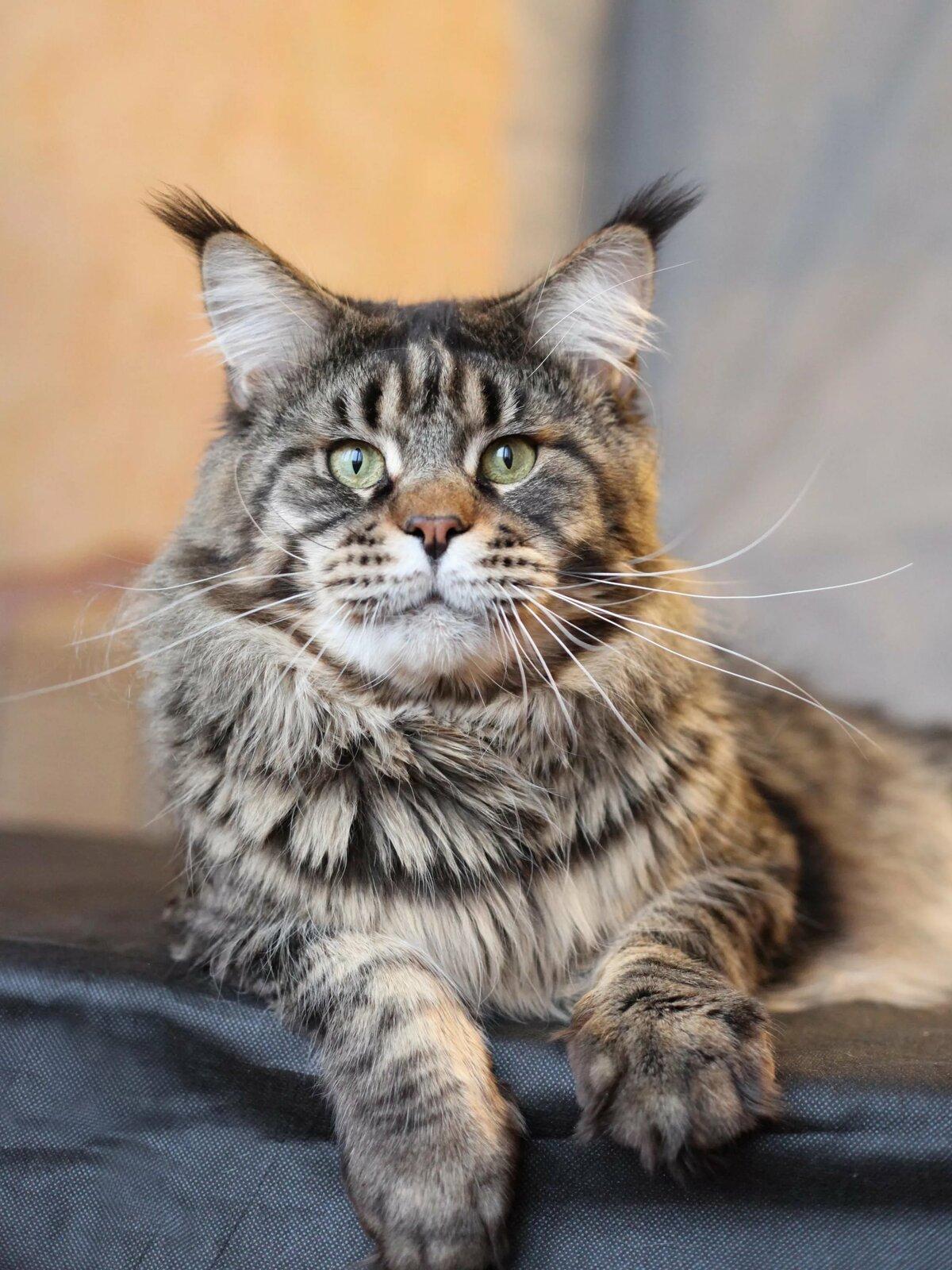 Коты порода мейн кун стоимость