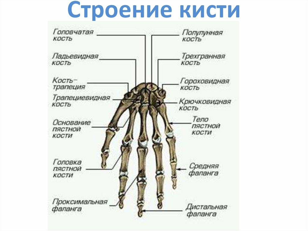 строение руки человека с названиями картинки