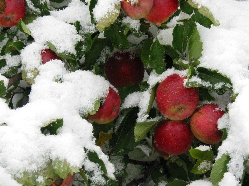 картинка анимация яблоки на снегу