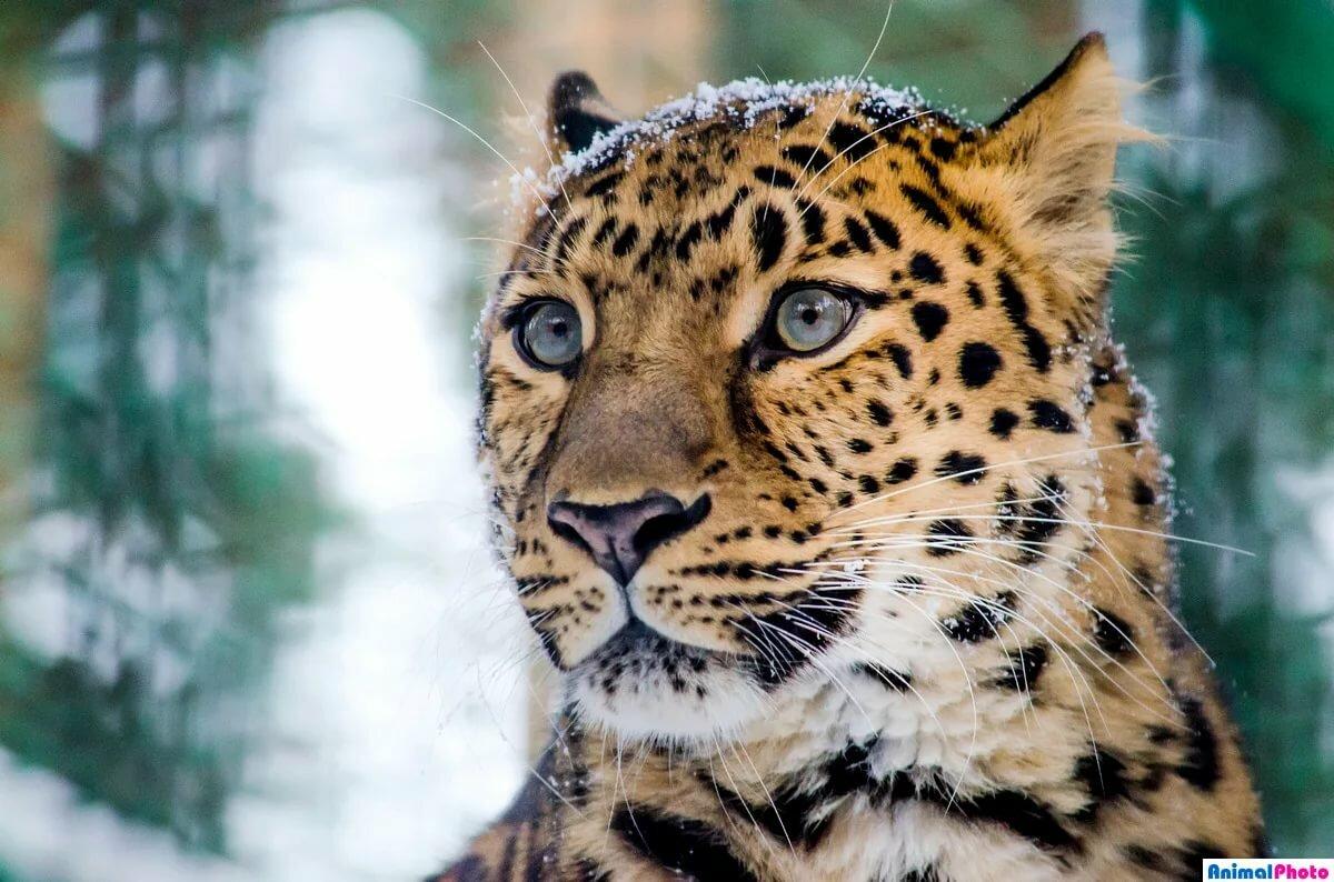справедливо касательно леопард кошка уссурийский фото что фотография является