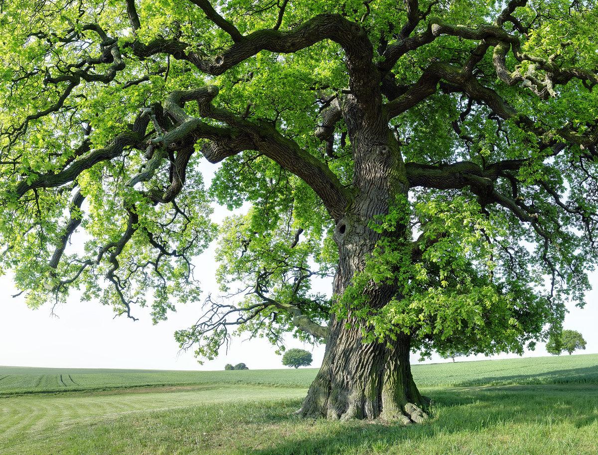 фотографии дерева дуба реле тепловые рти