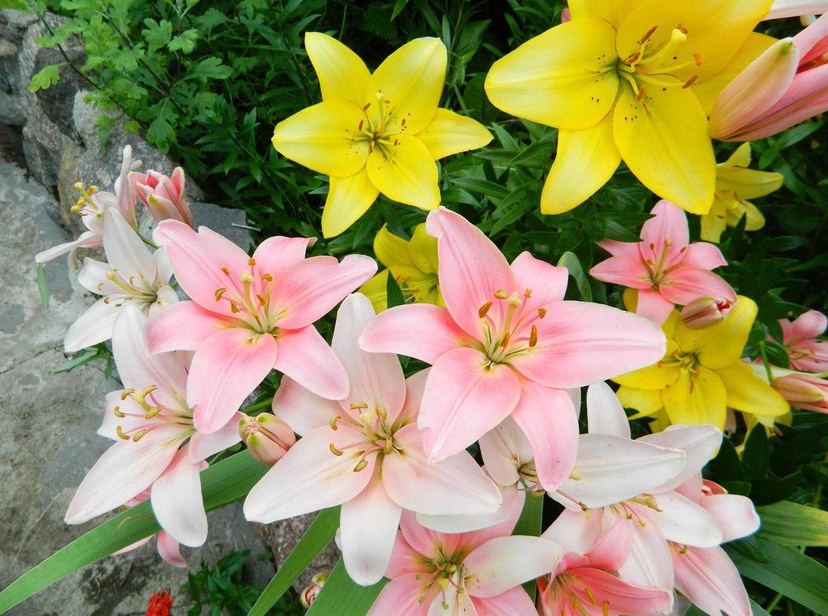 Цветы лилии фото и картинки