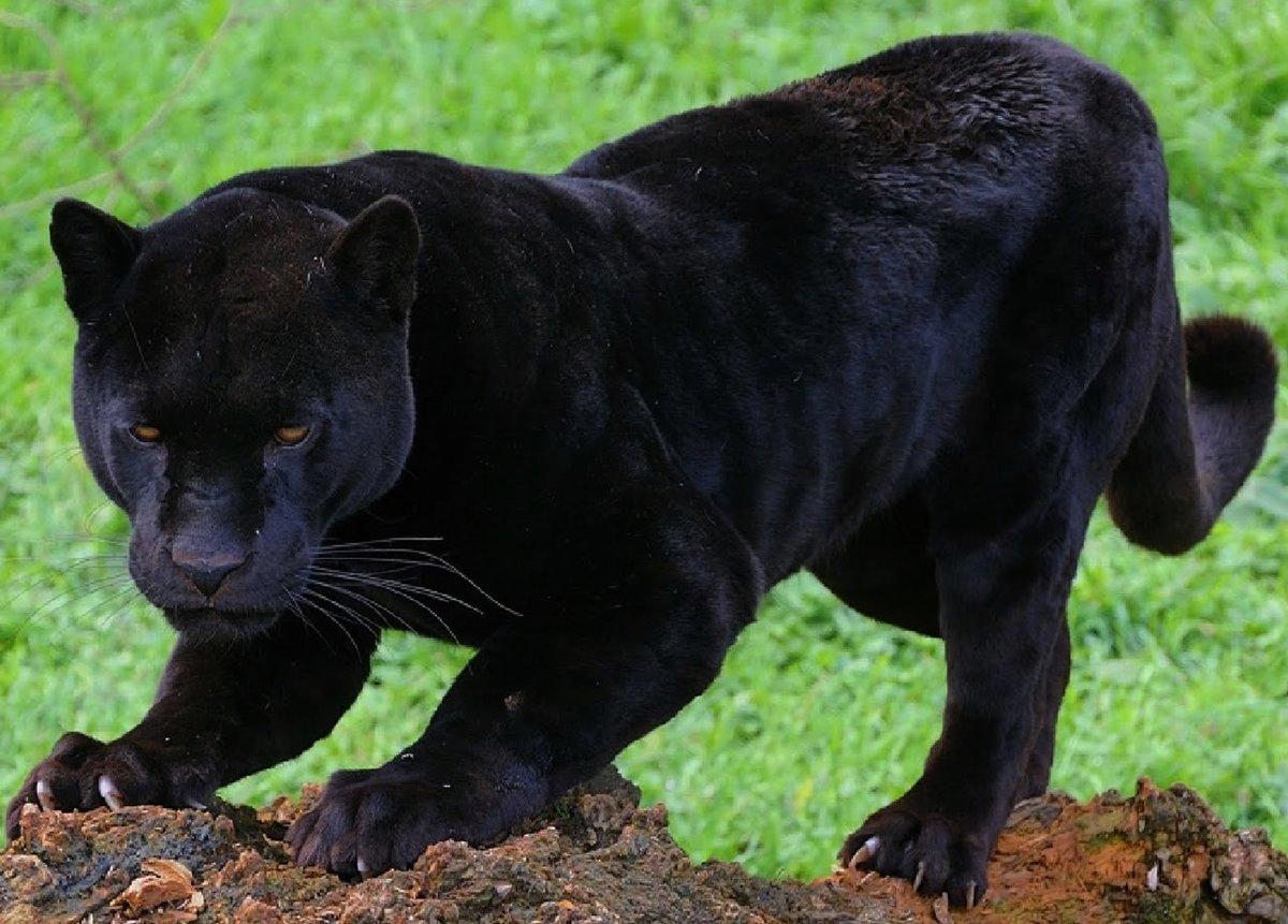 покупатели пума черная фото животное едут туристы