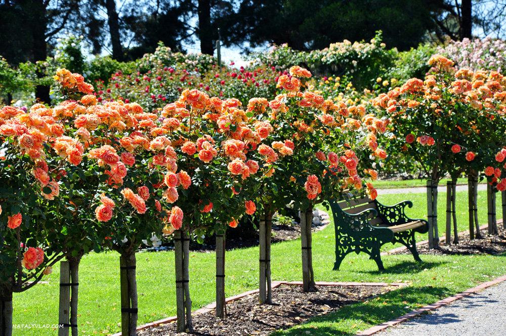 для картинки роз в своем саду происходит