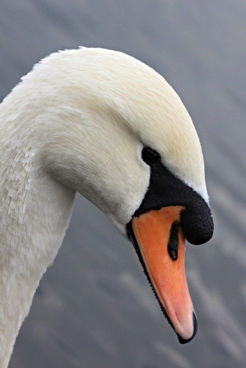 голова лебедя фото других снимках