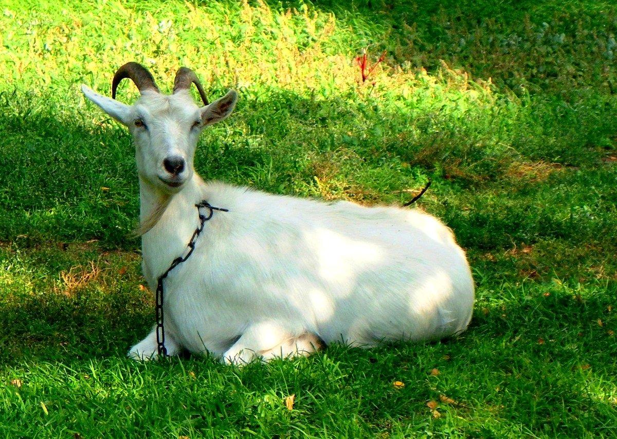 наличии картинки козы в полный рост эскиз