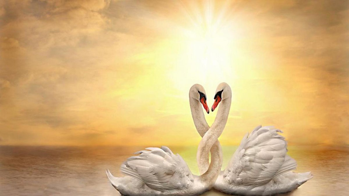 Картинка лебедей и как сердце