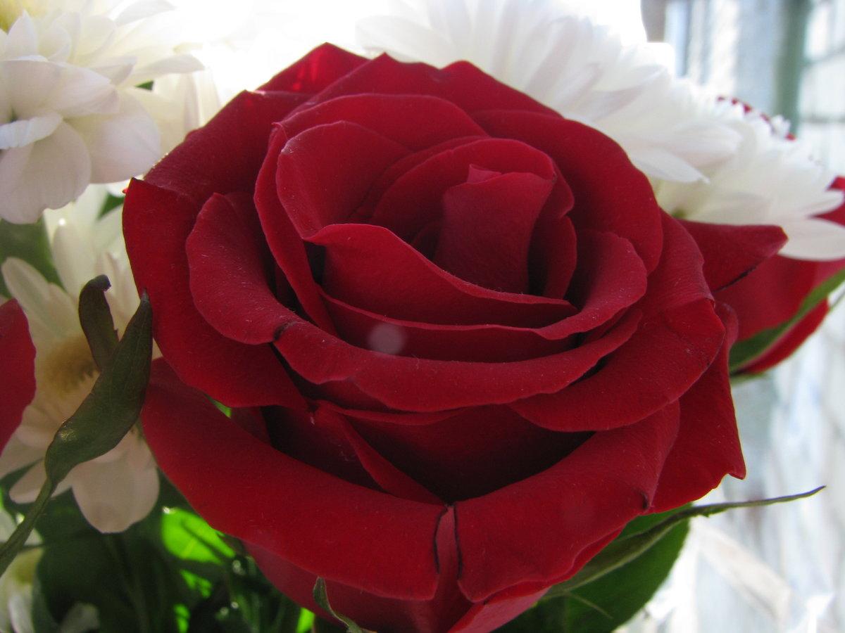 Картинки, картинки роз для любимой девушки
