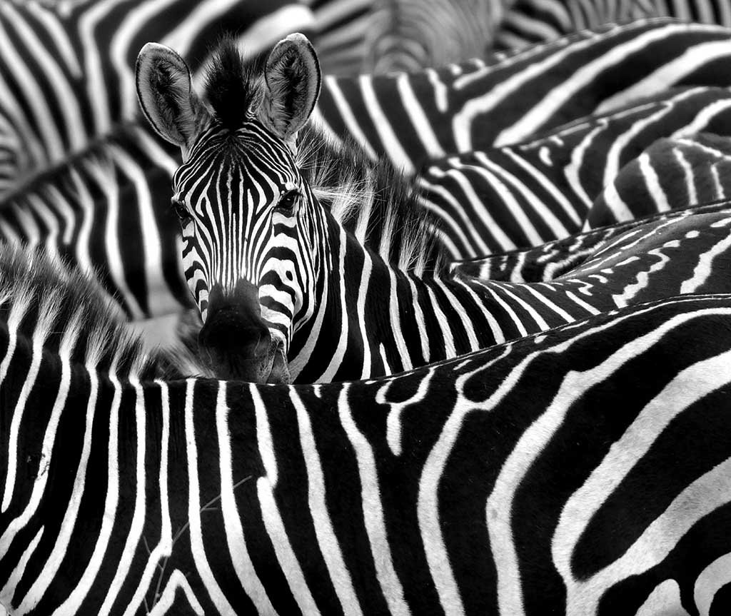 Еде, открытка полосатая зебра