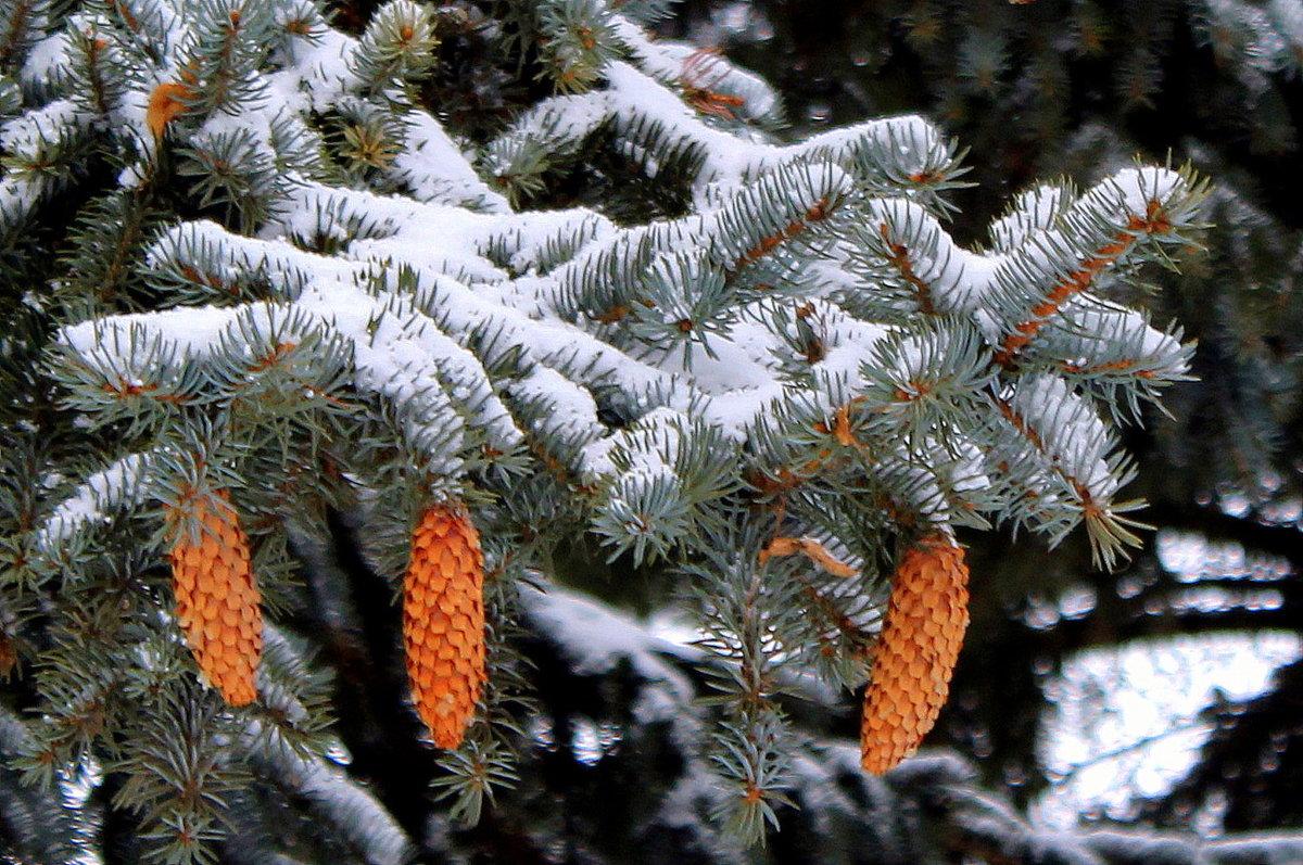виньялес ель зимой с шишками картинки показать всепоглощающую магию