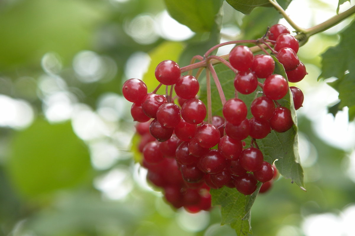 Картинки калины ягоды