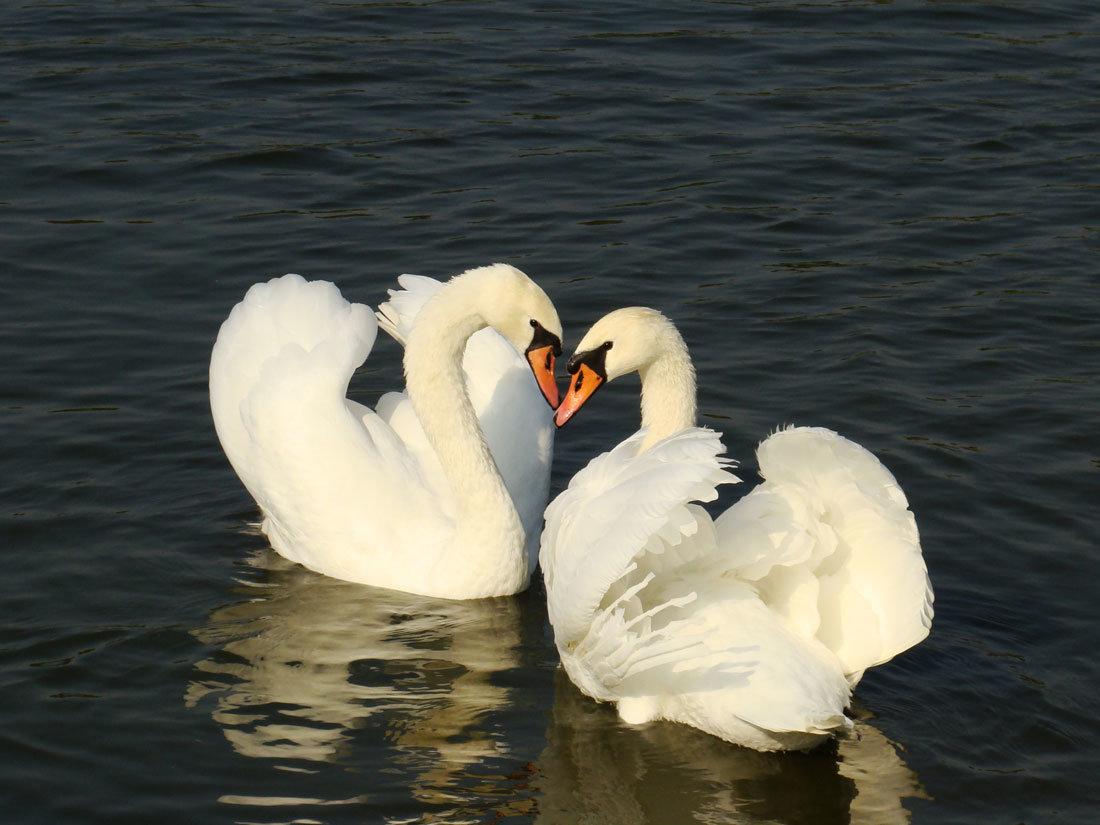 картинки пара лебедей на воде это одна форм