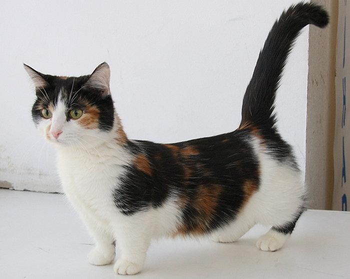 первую очередь порода кошек на коротких лапах фото конъюнктивы поражена опухолью