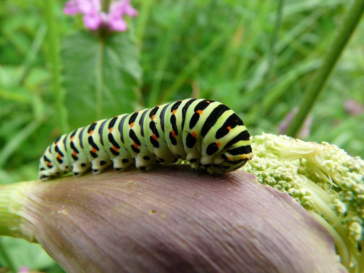 Гусеница бабочки махаона фото