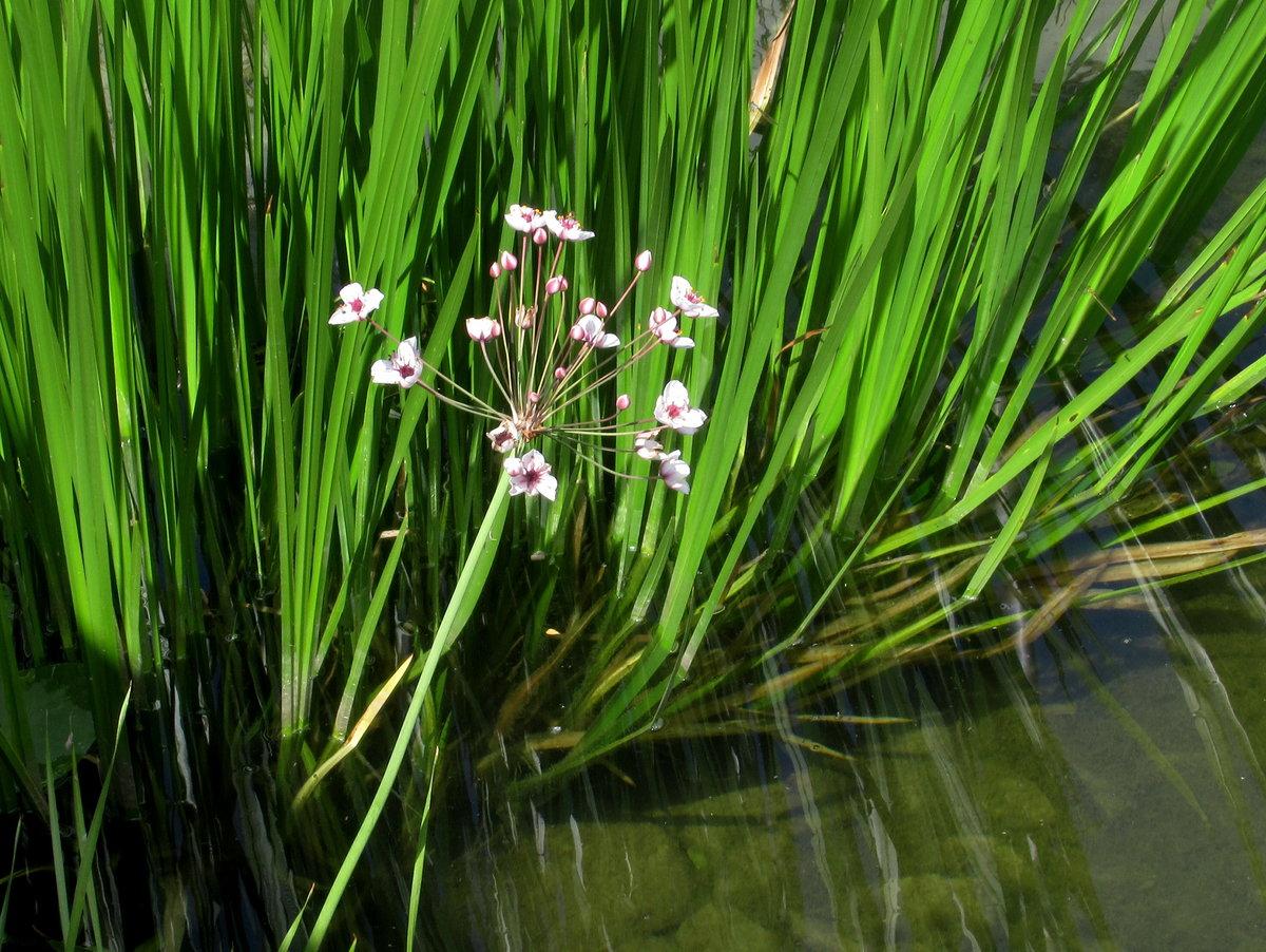 прибрежные растения с картинками избивали