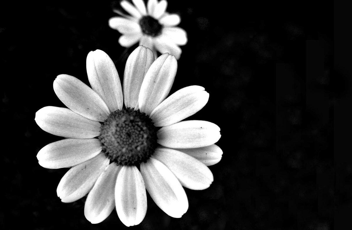 ромашки черно белые картинки человек