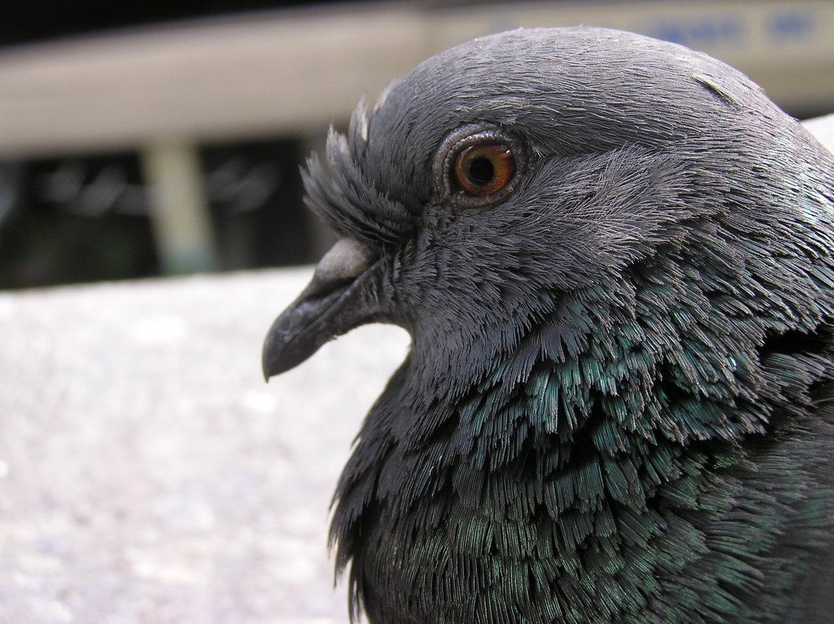 Клюв голубя фото