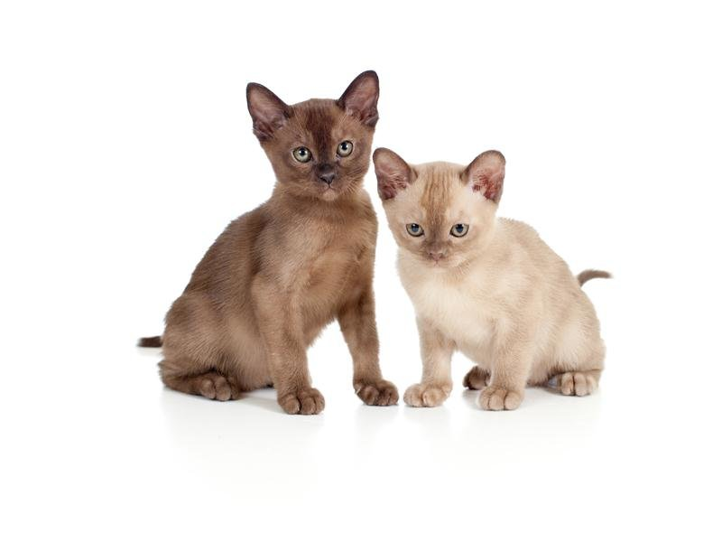 Бурманские котята светлого и темного окраса
