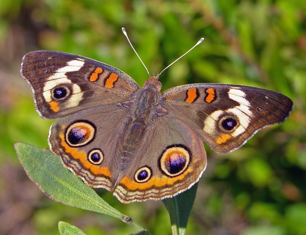 Названия и картинки с бабочками