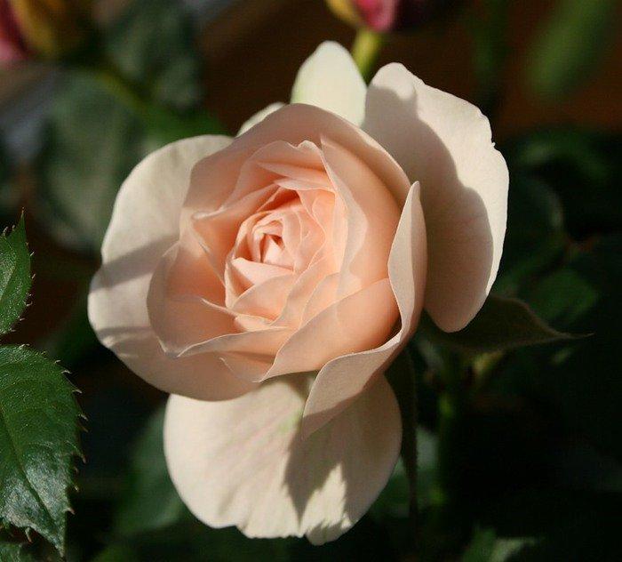 Картинки розы чайные, животные зимой для