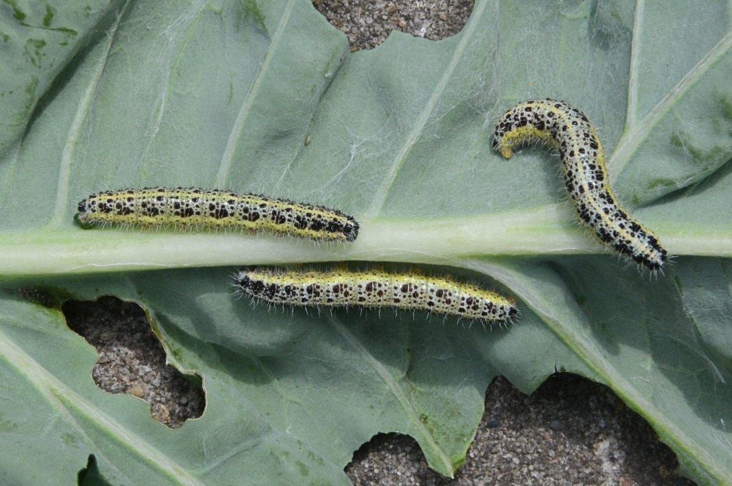 гусеница капустницы фото