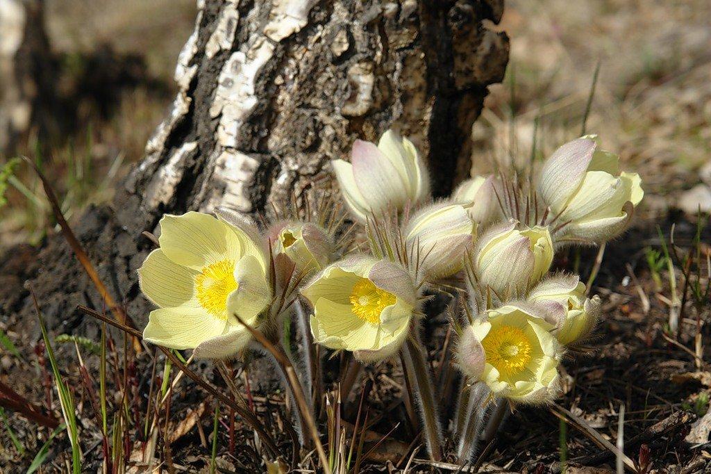 правильно первые весенние лесные цветы фото и названия качестве