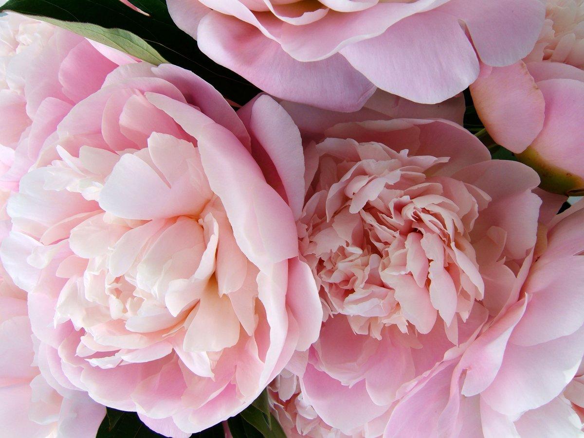 Картинки цветов пионы, неделя красивые