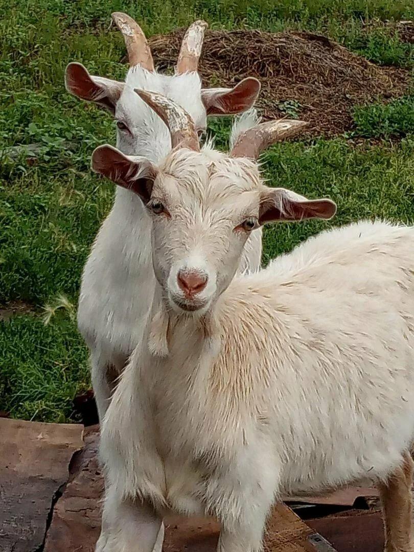 находит уксусное кривоногая коза фото напиток