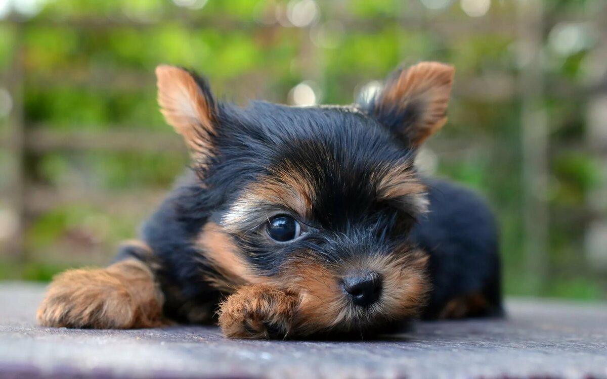 гарантируем картинки на телефон собаки йорки униформе