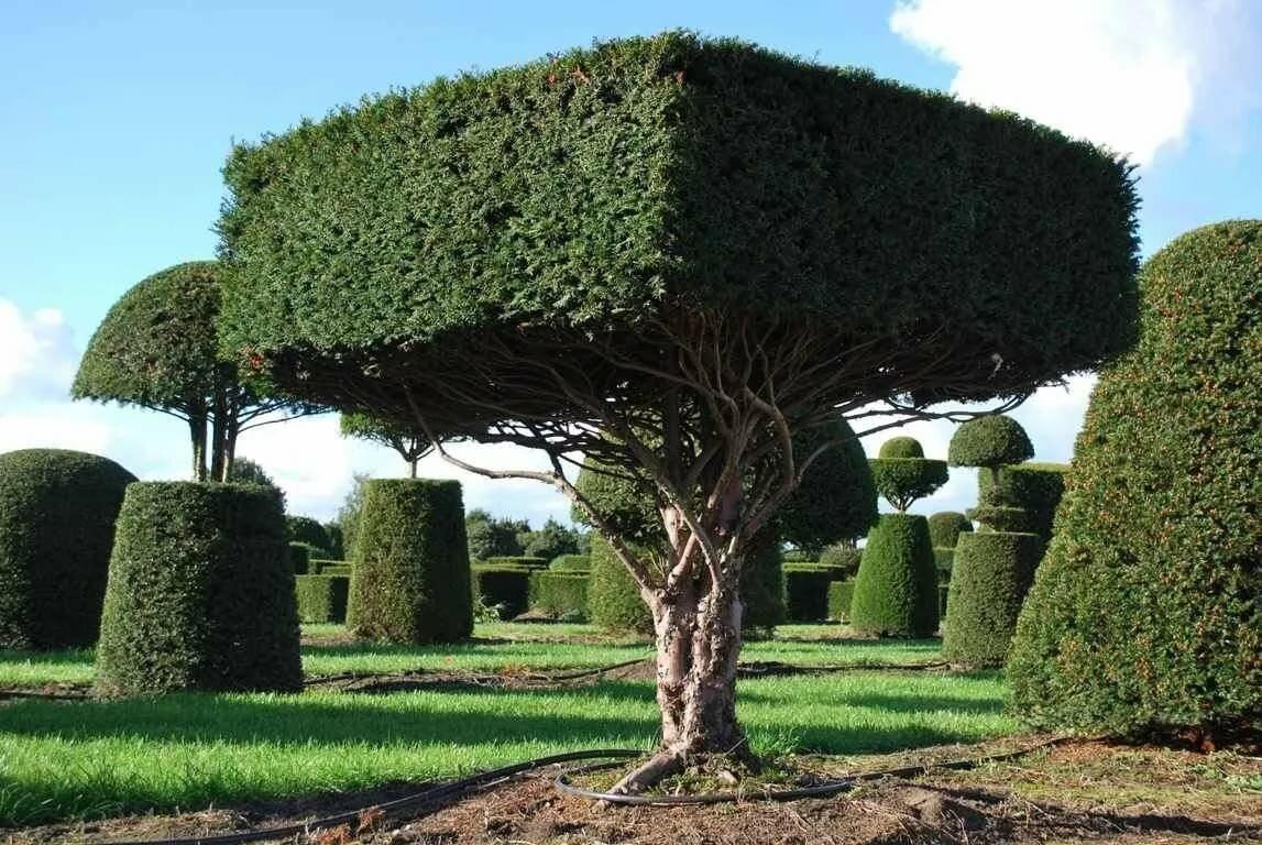 смирился стрижка растений в саду фото так выглядят