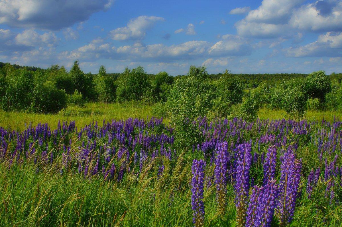 Люпиновое поле