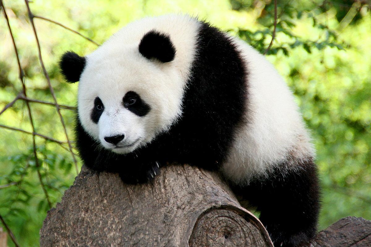 Приколы картинках, панда картинки смешные