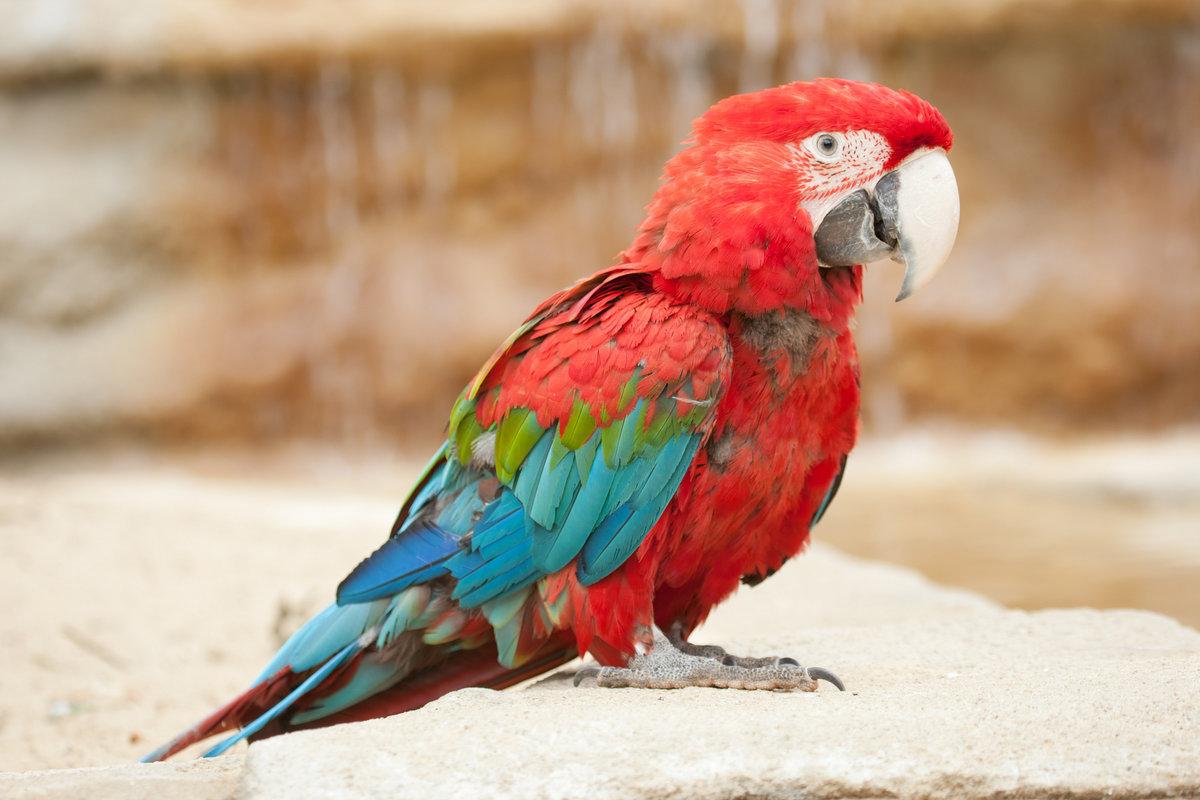 картинки попугай красный уверенны, что это