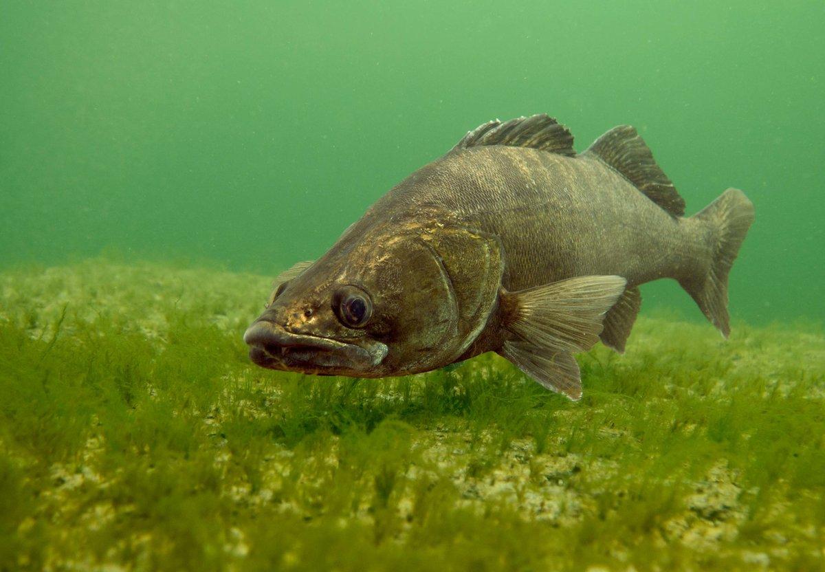 Рыбы в российских реках