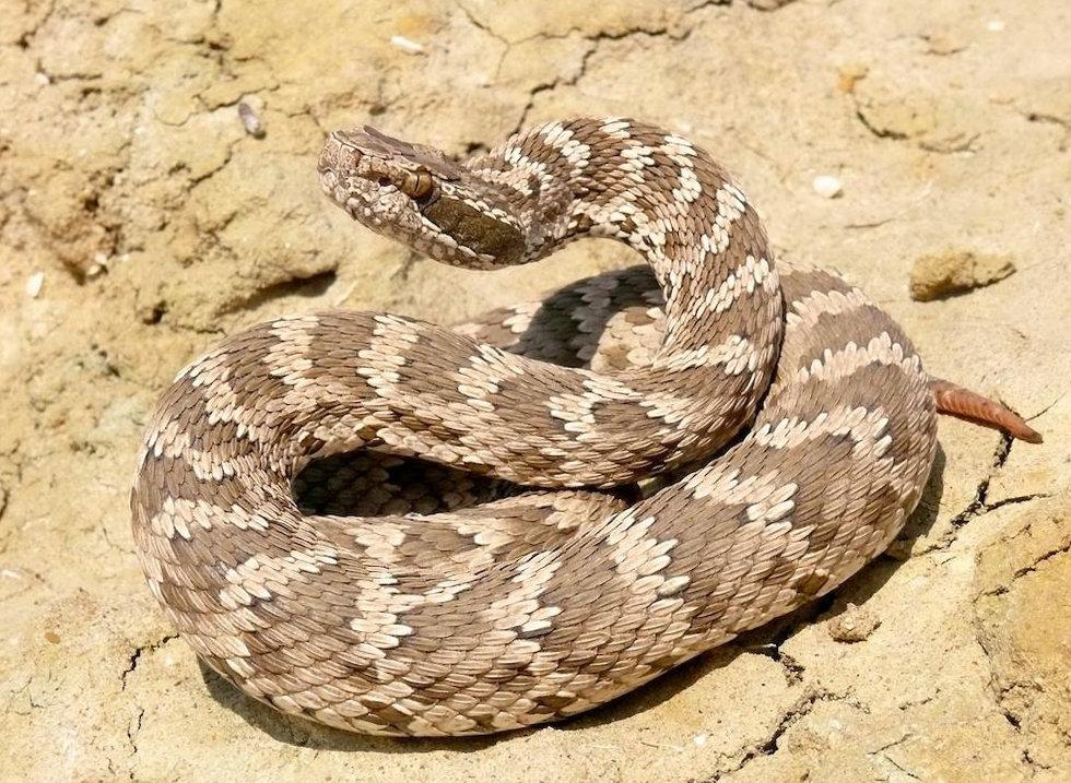 змея щитомордник фото и описание статьи про отличные